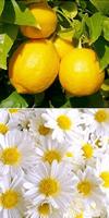 Toner Lemon Hazel