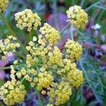 Естественная сила противогриппозной травы Lomatium dissectum