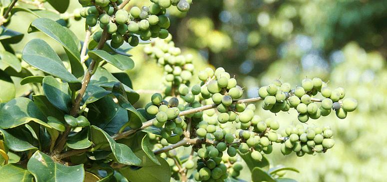 guggul-extract-iklumba